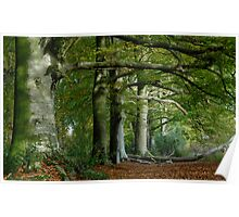 Beech Trees in Fall Poster