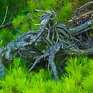 Gnarled Tree by CDNPhoto