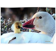 Snow Goose and Baby Chick Poster