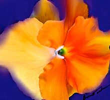 Orange Glow Pansy by Alexis Bonavitacola