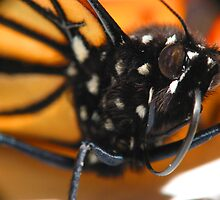 Monarch Butterfly Macro by Chris Brown