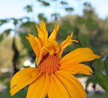 Mexican Sunflower Still Unfolding by AuntDot