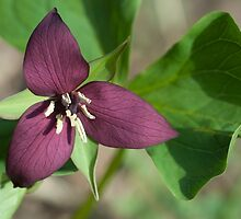 Red Trillium by Susan R. Wacker