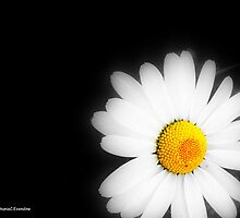 One Single Daisy by Stephanie Exendine