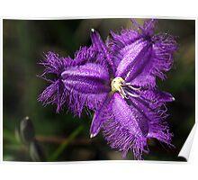 Purple Fringe Lily - Mt Cannibal, Gippsland, Victoria Poster