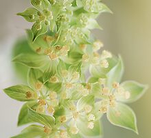 Essence of Euphorbia by Jacky Parker