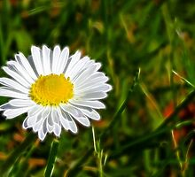 Daisy Daisy by lisa1970