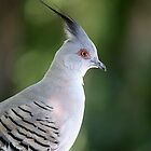 Crested Pigeon  _Ocyphaps lophotes_  by Magee