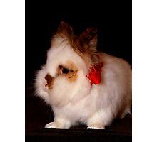 Lionhead bunny - Christmas Photographic Print
