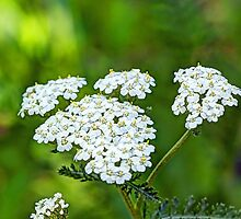Common Yarrow Wildflower - Achillea millefolium - White by MotherNature2