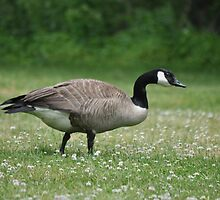 Canada Goose - on a bed of white clover by Poete100