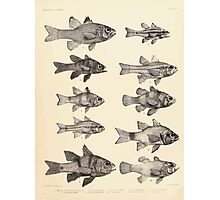 The fishes of India by Francis Day 015 - Apogon Multiplaeniatus, A Kalasoma, A Nigricans, A Frenatus, A Savayensis, A Nigripinnis, A Enderataenia, A Aureus, A Bifasciatus, A Galaga Photographic Print