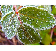 Icy Frosting.. Leaf. Photographic Print