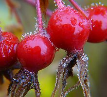 Winter Apples,(Frosted Rose-hips) by MaeBelle