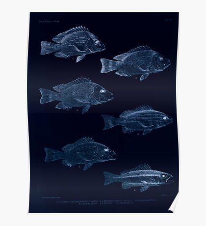 The fishes of India by Francis Day 009 - Inverted - Lutianus Erythropterus young - L Erythropierus adult - L Dodecacanthus - L Bengalensis - L Fulvus - L Biguttatus Poster