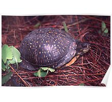 Florida box turtle Poster
