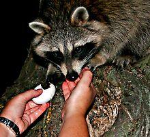 Raccoon Likes Eggs by Liviu Leahu