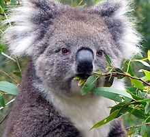 Koala......who are you looking at? by AdelaideBound