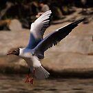 Black-Headed Gull. by Finbarr Reilly