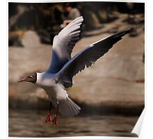 Black-Headed Gull. Poster