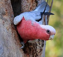 Australian Galah by Elaine Harriott