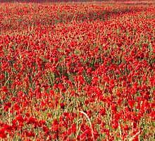 Flanders Poppies by Andy Leslie
