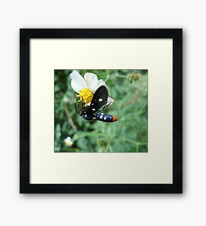 Polka-dotted Wasp Moth Framed Print