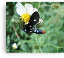Polka-dotted Wasp Moth Canvas Print