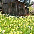 A barn in daffodil hill by Ann Marie Donahue