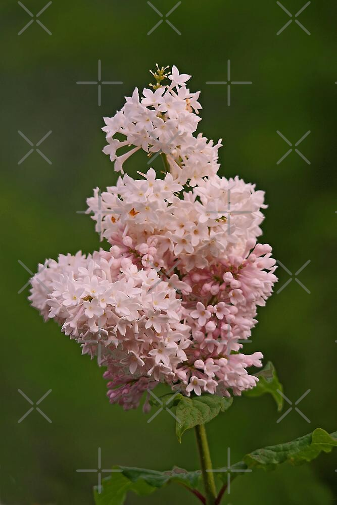 Lilacs by Vickie Emms