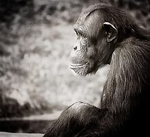 chimp by Jack Toohey