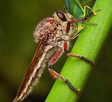 Robberfly devouring Katydid by Mark Shean