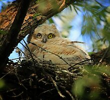 Great Horned Owlette by Vickie Emms