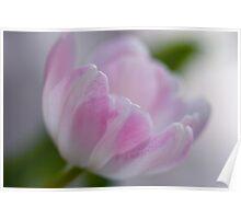 Soft Tulip Poster