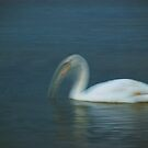 The Dipping Swan by Marcin Retecki