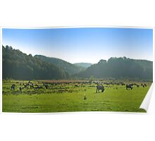 A herd of bulls on the green pasture. Poster