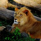 African Lion by LjMaxx