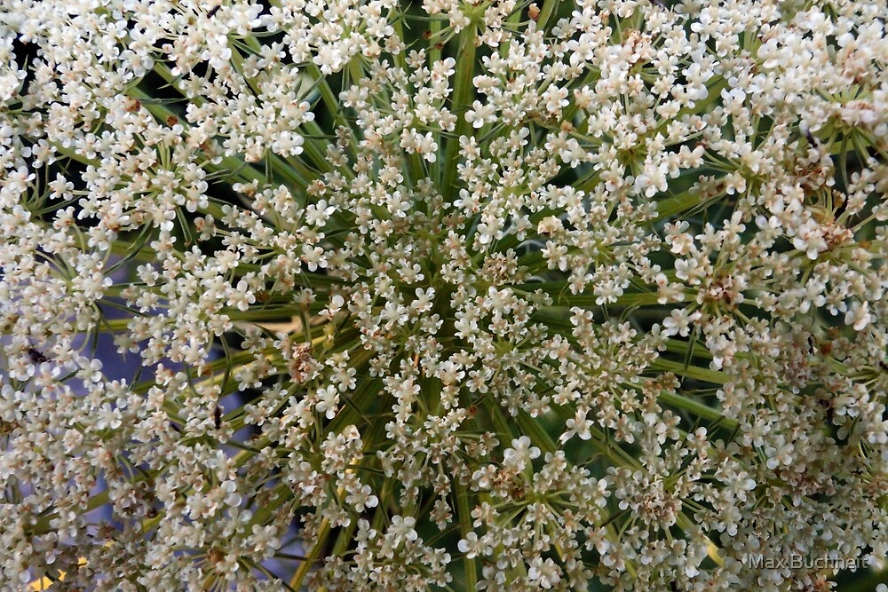 Wildfower Macro Cards: Queen Anne's Lace by Max Buchheit