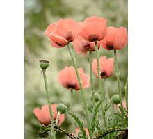 Oriental poppies patterns Photographic Print