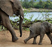 I CAN'T WALK FASTER ! - THE AFRICAN ELEPHANT – Loxodonta Africana by Magriet Meintjes