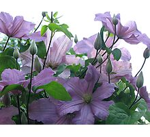 Lavender Clematis Photographic Print