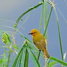 Little Weaver Bird by daisymae