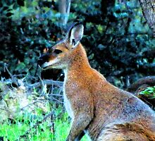 Red Necked Wallaby, Doctor's Flat Road, Wee Jasper by Kate Howarth