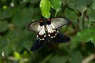 The Great Mormon Swallowtail by RatManDude