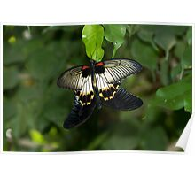 The Great Mormon Swallowtail Poster