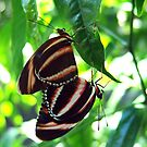 Orange Banded Butterflies - Cockrell Butterfly House by May Lattanzio