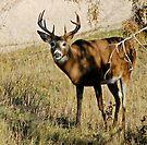 5x5 whitetail buck by Rodney55