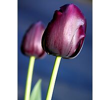 Tulip - Queen of the Night Photographic Print