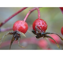 Frozen Twin Rose Hips .. wild roses Photographic Print