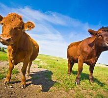 Two Serious Cows by Marlene Hielema